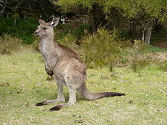 https://upload.wikimedia.org/wikipedia/commons/thumb/1/1b/Macropus_giganteus_02.jpg/240px-Macropus_giganteus_02.jpg