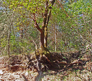 Calabazas Creek (Sonoma County) - Madrone tree in upper watershed of Calabazas Creek, showing shallow rooting due to thin soil mantle.