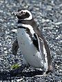 Magellanic Penguin (5540813187).jpg