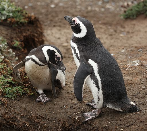 Magellanic Penguins at Otway Sound, Chile (5521269094)