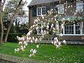 Magnolia, Alphen aan den Rijn, april 2004.jpg