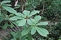 Magnolia rostrata.jpg