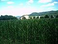 Maisfeld in Denzlingen - panoramio.jpg