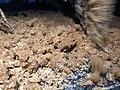Making of brown sugar in Punjab 55.jpg