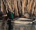 Male and Female Mallard Ducks (4923789241).jpg