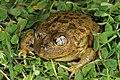 Mallee Spadefoot Toad (Neobatrachus pictus) (9391136032).jpg