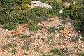 Malta - Mellieha - Triq Mellieha - Rdum mic-Cirkewwa sa Benghisa - Anacamptis pyramidalis 01 ies.jpg