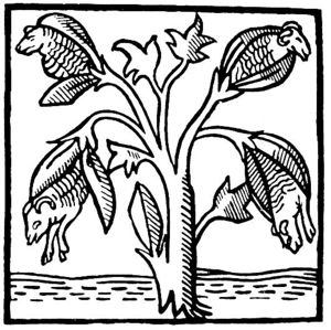 Cotton - Cotton plants as imagined and drawn by John Mandeville in the 14th century