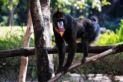 Mandrill Monkey.jpg