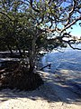 Mangroves in De Soto National Memorial.JPG