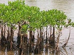 Mangroves in Kannur, India.jpg