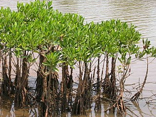 Mangrove A shrub or small tree that grows in coastal saline or brackish water