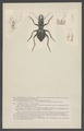 Mantichora - Print - Iconographia Zoologica - Special Collections University of Amsterdam - UBAINV0274 001 01 0002.tif