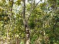 Maravakai (Tamil- மரவகை) (3188619574).jpg