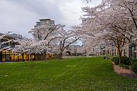 Marine Drive Cherry Blossoms 02.JPG
