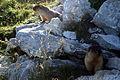 Marmota camtschatica img 4967.jpg