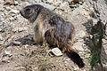 Marmotta.jpeg