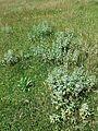 Marrubium peregrinum sl20.jpg