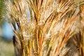 Marsh Grass (237188885).jpeg