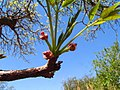 Marula Baum Blüte in Swaziland.jpg