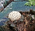Maruszka, Puszcza Zielonka, fungi (2).jpg