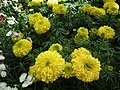 Marygold from Lalbagh flower show Aug 2013 8170.JPG