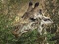 Masai Giraffe Giraffa camelopardalis tippelskirchi in Tanzania 0798 cropped Nevit.jpg