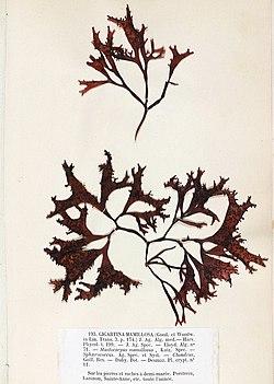 Mastocarpus stellatus Crouan.jpg