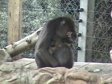 File:Meaningful-Gesture-in-Monkeys-Investigating-whether-Mandrills-Create-Social-Culture-pone.0014610.s008.ogv