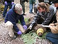 Measuring a tranquilized grizzly prior to affixing a radio collar (Northern Divide Grizzly Bear Project) (4428173662).jpg