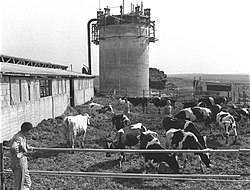 Mefalsim cowshed and silo1955.jpg