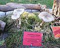 Megacollybia platyphylla - Pilzausstellung Rostock 2015.jpg