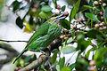 Megalaima faiostricta, green-eared barbet.jpg