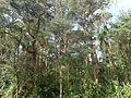 Melaleuca biconvexa (habit).jpg