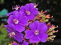 Melastomataceae - Tibouchina heteromalla-1.JPG