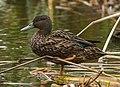 Meller's Duck - Lac Alarobia - Madagascar S4E6823 (15284609001) (cropped).jpg