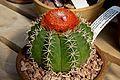 Melocactus matanzanus 2.jpg