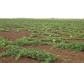 Bykovsky District - A water melon field in Bykovsky District