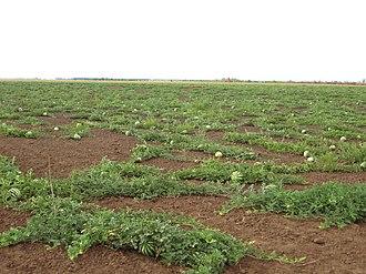 Bykovsky District - A water melon field in Bykovsky District