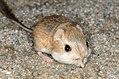 Merriam's kangaroo rat (Dipodomys merriami, F Heteromyidae) (11040259915).jpg