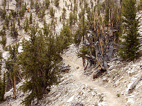 Forest of gnarled pine trees with sandy soil between them