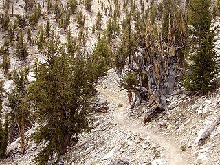 Methuselah (tree) extremely old tree