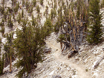 The Methuselah Grove of the Ancient Bristlecone Pine Forest, in the White Mountains, Inyo County, California.