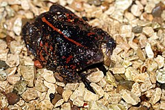 Mexican burrowing toad - Flickr - GregTheBusker (3).jpg