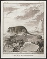 Microcebus pusillus - 1700-1880 - Print - Iconographia Zoologica - Special Collections University of Amsterdam - UBA01 IZ20300051.tif