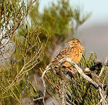 Mirafra apiata -Namaqua National Park, South Africa-8.jpg
