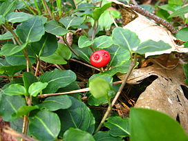 Mitchella repens 2004.JPG