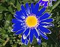 Modrá chryzantéma.jpg