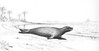 Caribbean monk seal - Drawing of Monachus tropicalis