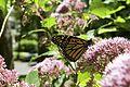 Monarch&JoePyeWeed 01.jpg